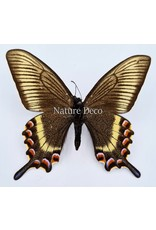 . Ongeprepareerde Papilio Maackii (lente)