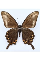 . Unmounted Papilio Maackii (summer)