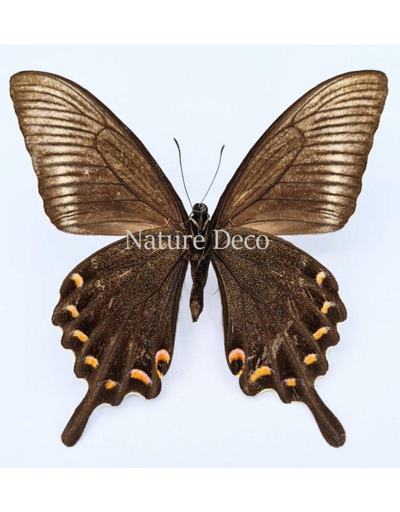 . Ongeprepareerde Papilio Maackii (zomer)