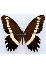 . Ongeprepareerde Papilio Gallienus