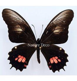 . Unmounted Papilio Isidorus