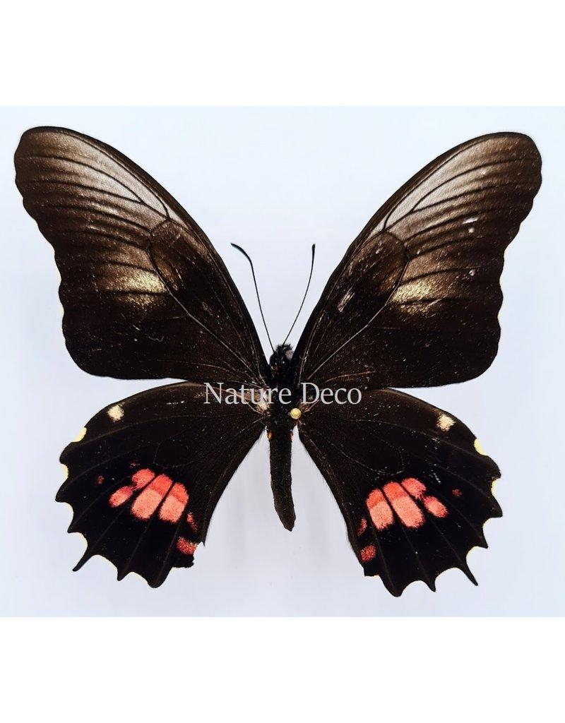 . Ongeprepareerde Papilio Isidorus