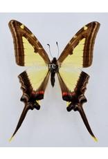. Unmounted Eurytides Leucaspis