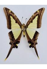 . Ongeprepareerde Eurytides Leucaspis