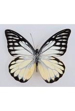 . Unmounted Prioneris Thestylis