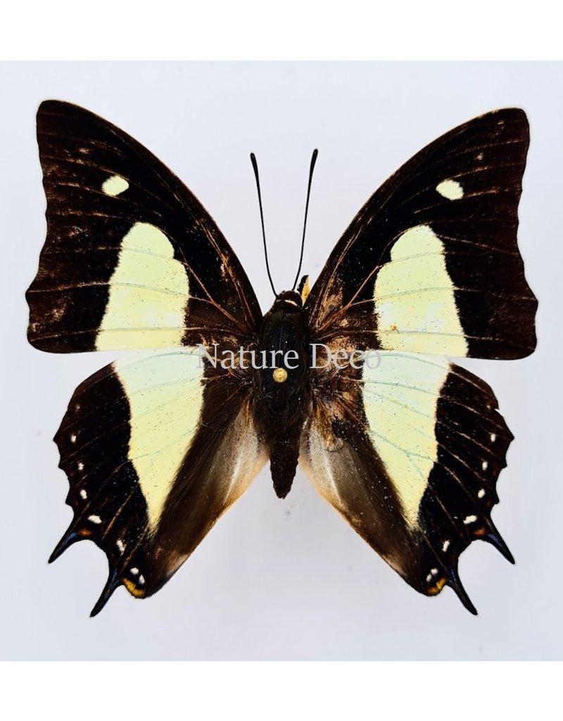 . Unmounted  Polyura Athamas