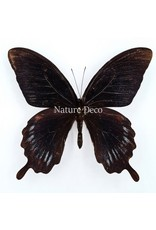 . Ongeprepareerde Papilio Deiphobus