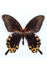 . Unmounted Papilio Deiphobus