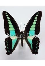 Nature Deco Oorbel hangend Graphium