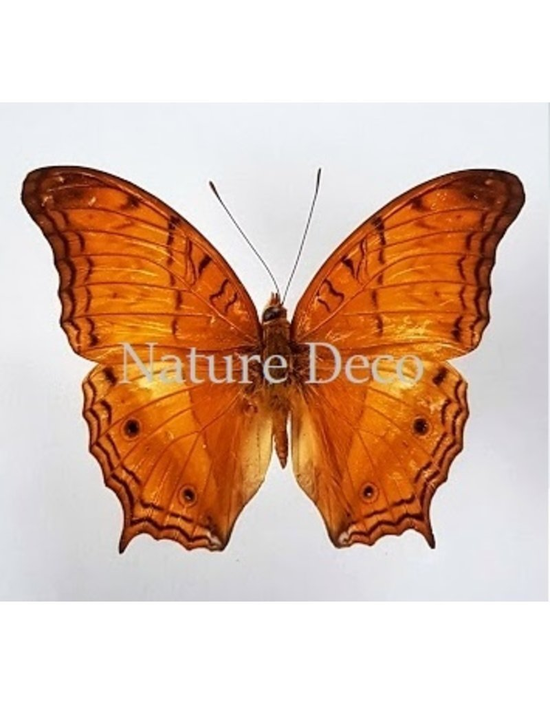 Nature Deco Oorbel knopje Vindula