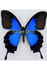 . Unmounted Papilio Ulysses Telegonus