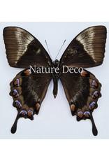 . Ongeprepareerde Papilio Ulysses Telegonus