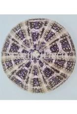 . Sea urchin multi big