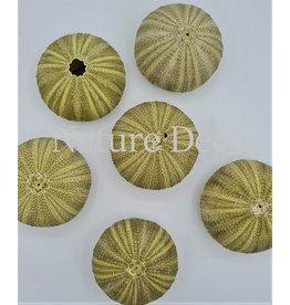 . Sea urchin green