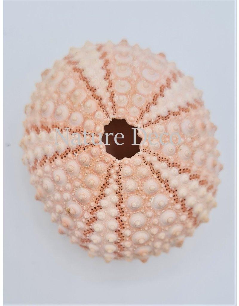 . Sea urchin pink