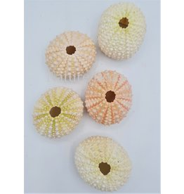 . Sea urchin mini