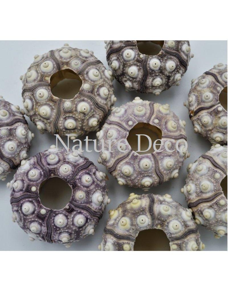 . Sea urchin purple big