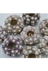 . sea urchin purple
