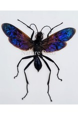 . (Un)mounted  Chalybion Californicum (mud wasp)