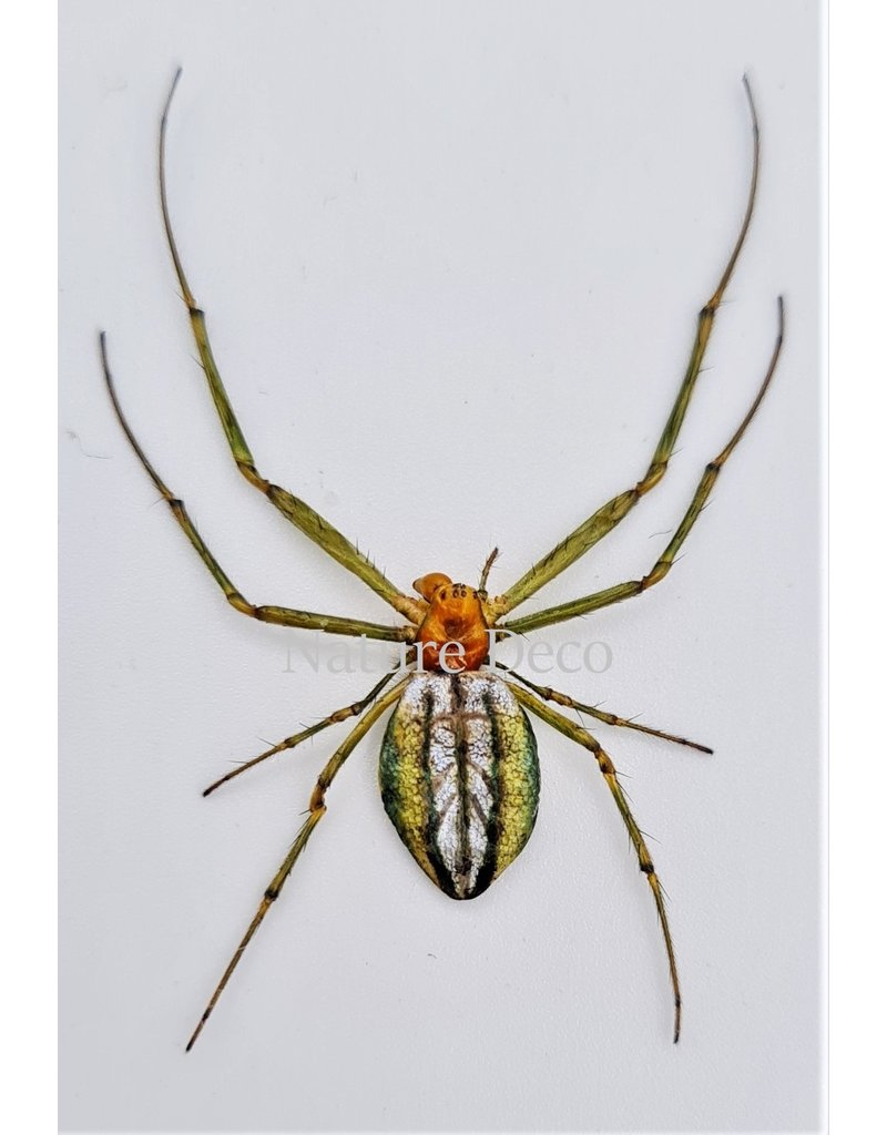 . (Un)mounted Leucauge sp.