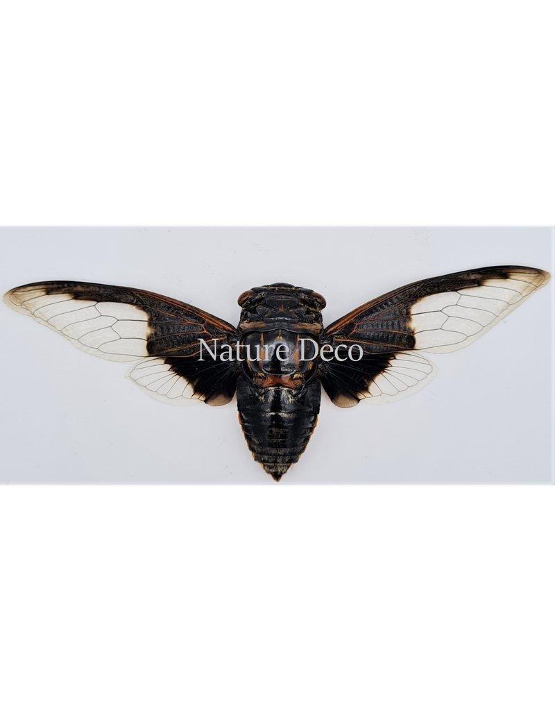 . (On)geprepareerde Cryptotympana aquila (cicade)