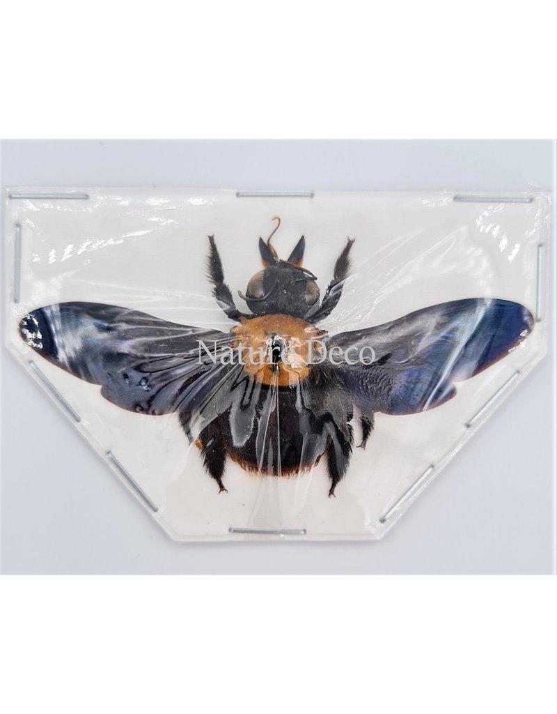 . (Un)mounted  Xylocops species