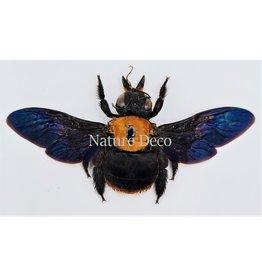 . (On)geprepareerde  Xylocops species (bij)
