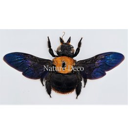 . (Un)mounted  Xylocops species (bee)