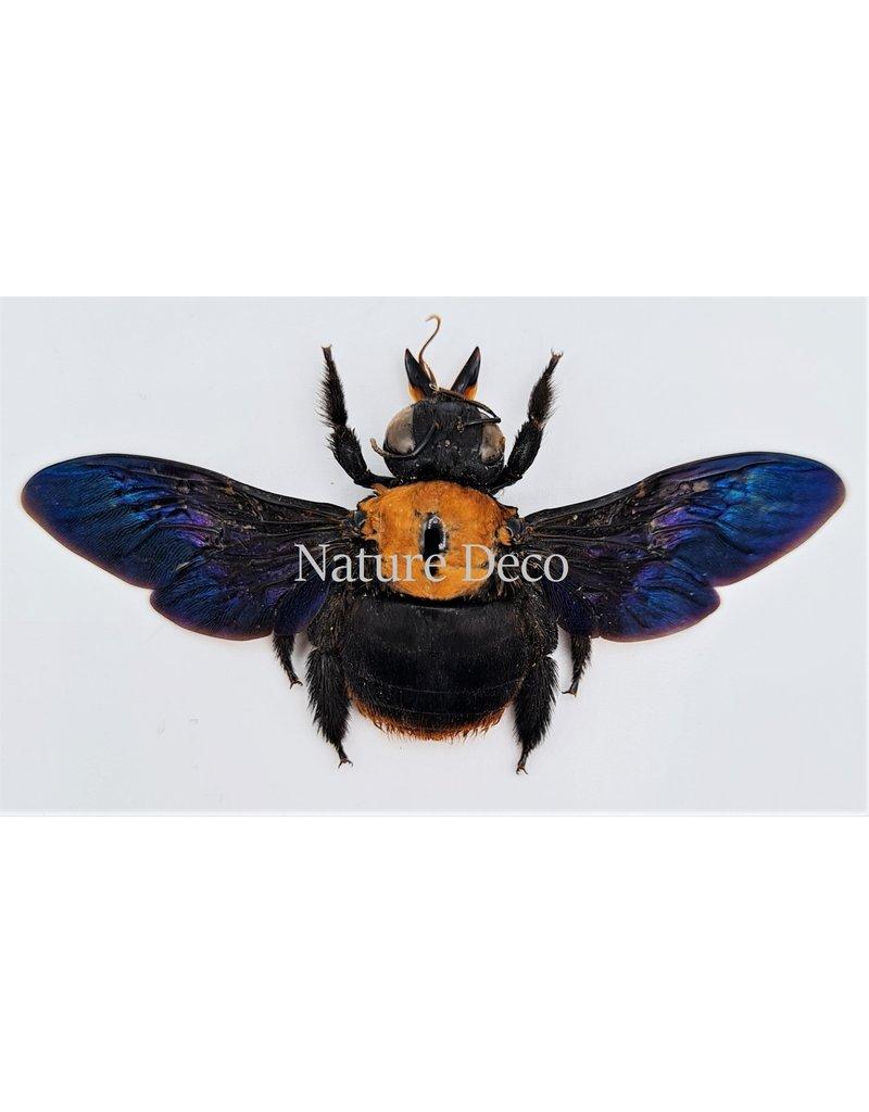 . (On)geprepareerde  Xylocops species