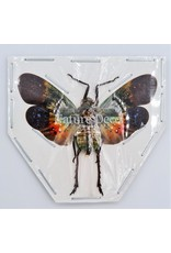 . (Un)mounted Penthicodes Farinosa peleng