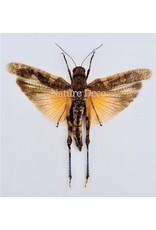 . (On)geprepareerde Pternoscirta Caliginosa (sprinkhaan)