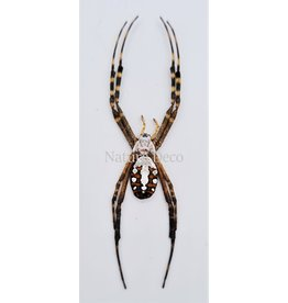 . Unmounted  Argiope Catenulata (spider)