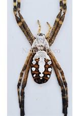 . Ongeprepareerde Argiope Catenulata (spin)