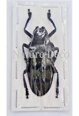 . (Un)mounted Diastocera Wallichi Tricincta