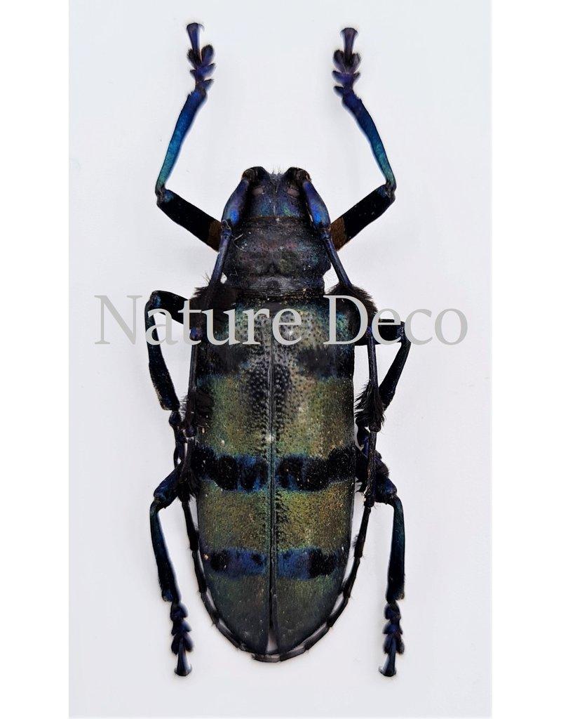 . Ongeprepareerde Diastocera Wallichi Tricincta