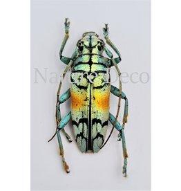 . (Un)mounted Tmesisternus Rafaelae