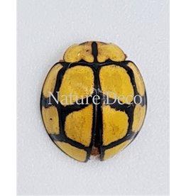 . (Un)mounted Heteroneda Billardieri (ladybug)