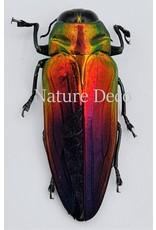 . Ongeprepareerde Belionota Tricolor (prachtkever)