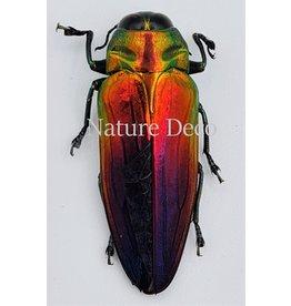 . Unmounted  Belionota Tricolor (jewelbeelte)