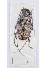 . Ongeprepareerde Acrocinus Longimanus (Harlekijnboktor)