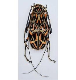 . Unmounted  Acrocinus Longimanus (harlequin longhorn beetle)
