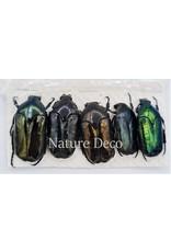 . Unmounted Cetoniidae sp 1