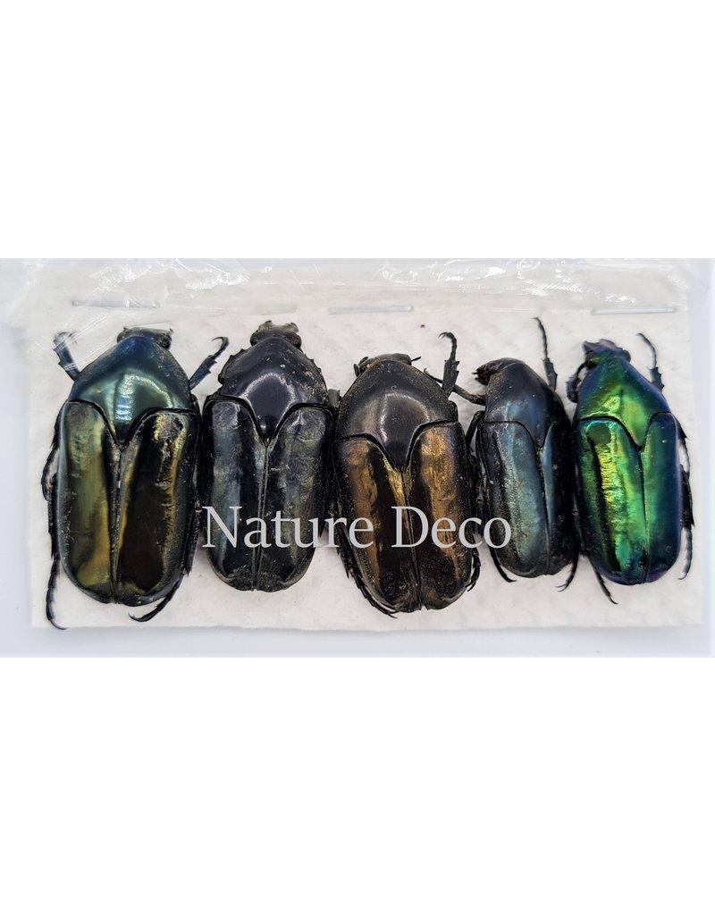 . Ongeprepareerde Cetoniidae sp 1