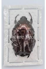 . Ongeprepareerde Cetoniidae sp 2