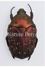 . Unmounted Cetoniidae sp 2