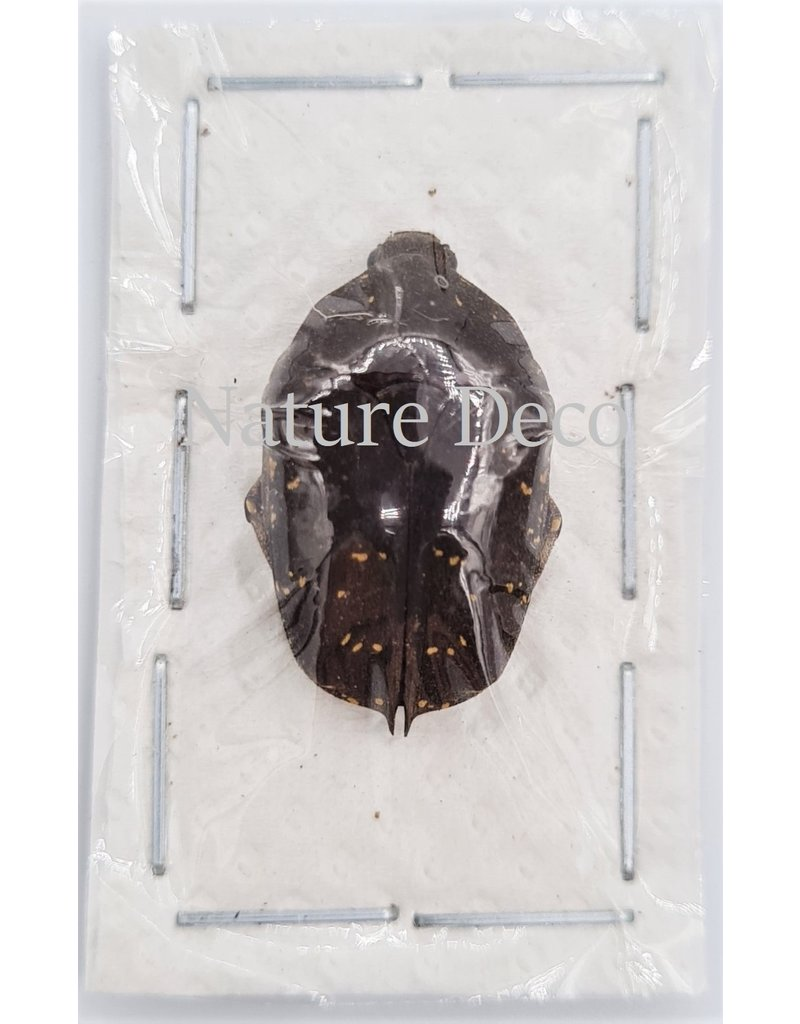 . Unmounted Cetoniidae sp 3