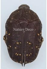 . Ongeprepareerde Cetoniidae sp 3