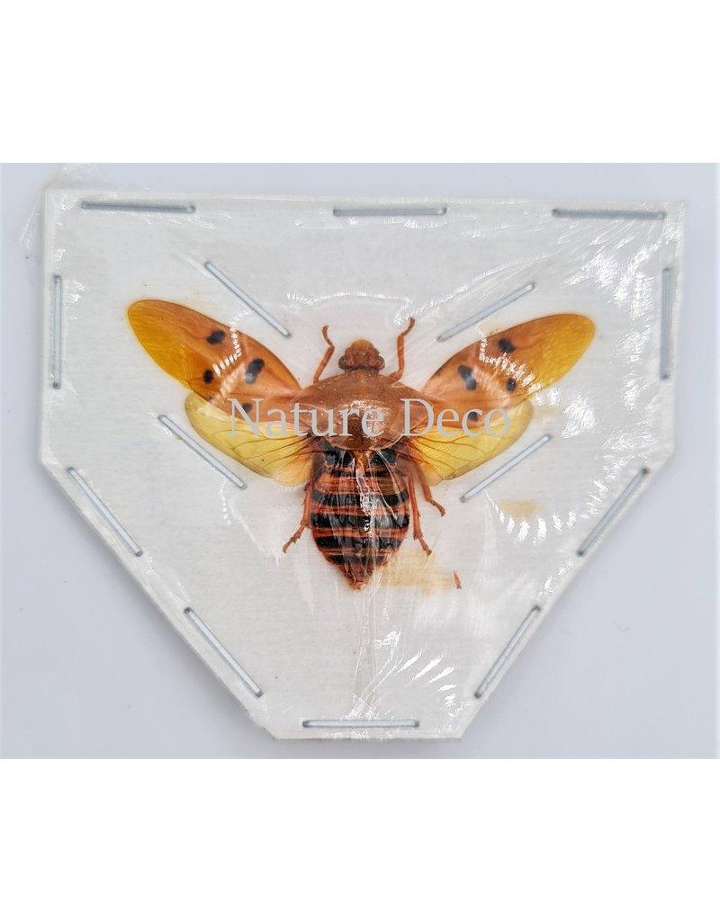 . (On)geprepareerde Cosmoscarta Dorismacula (schuimcicade)