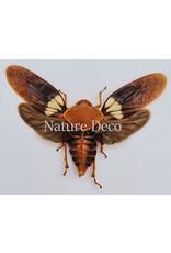 . (On)geprepareerde Cosmoscarta Apiana (schuimcicade)