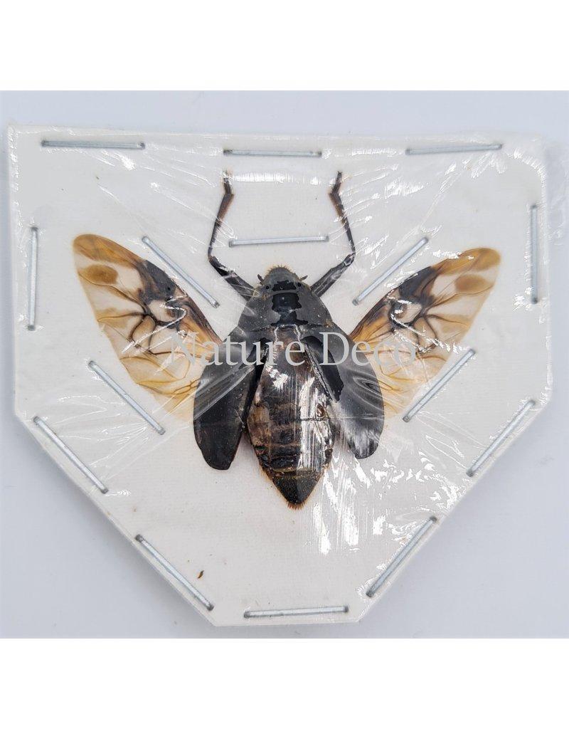 . (Un)mounted Dineutus sp.
